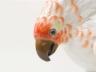 Parrot Nardy_04